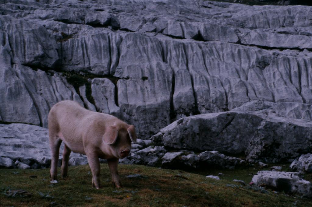 karrenschwein